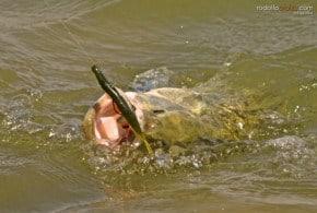 Catching Largemouth Bass as Beginner